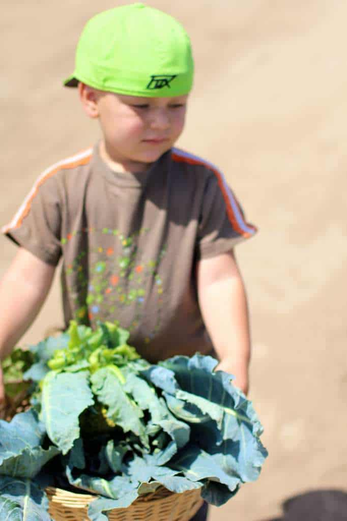 Baby Ben Harvesting