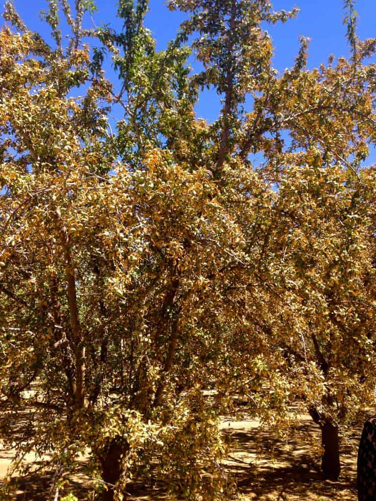 Almond trees suffering from too much salted water