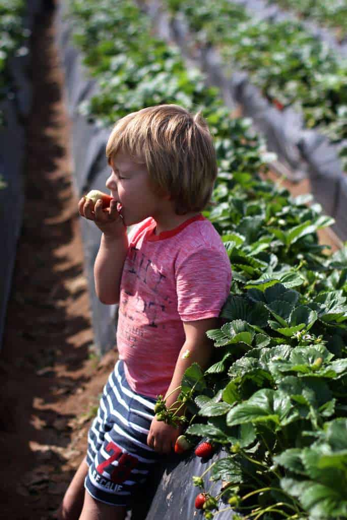 Strawberry U-Pick Carlsbad