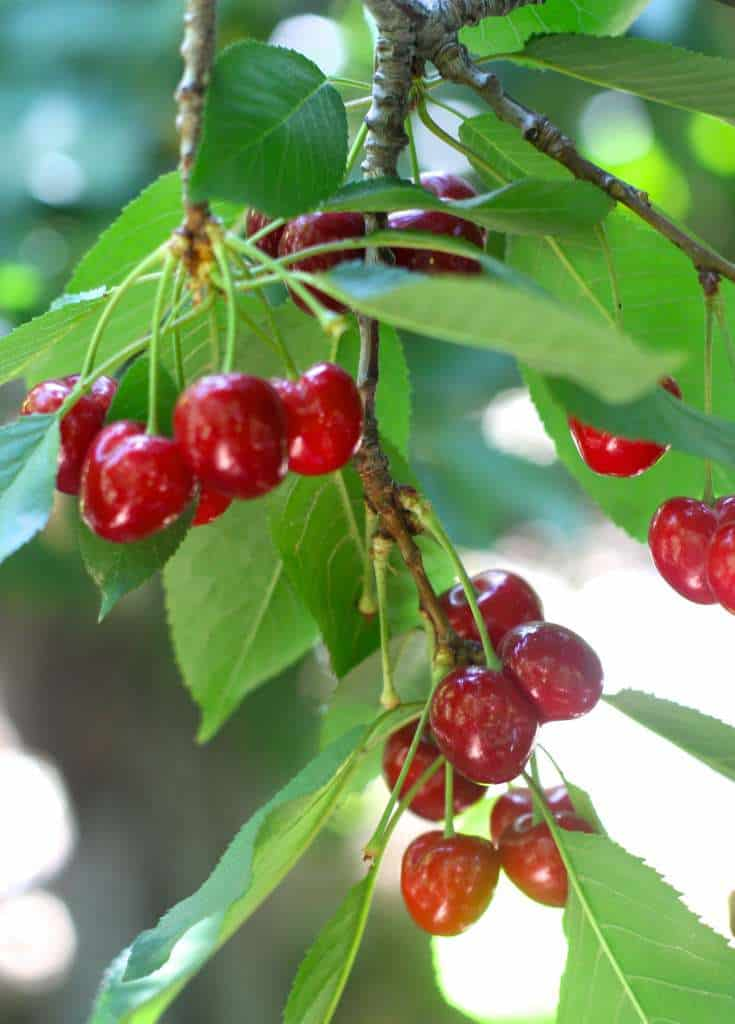 closeup of cherries on a tree to be used in hand pies